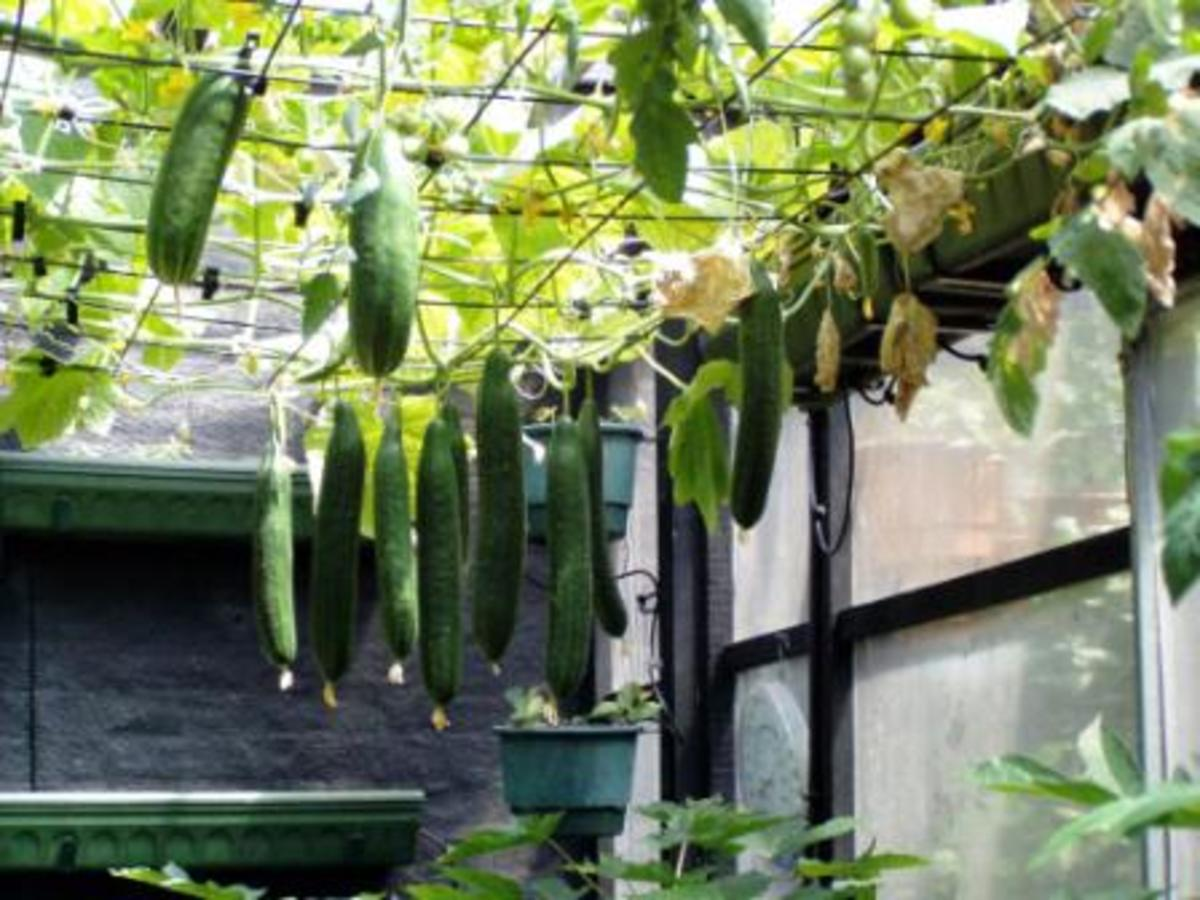 Cucumbers Growing Overhead Vertical On A Fence Section. You Can Pick Them Easily This Way.