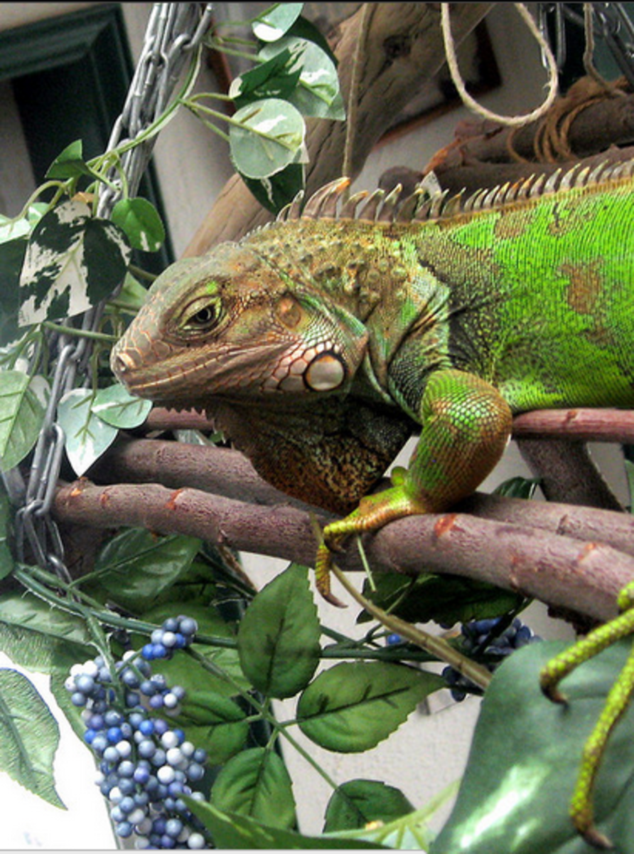 Behold, the Green Iguana!