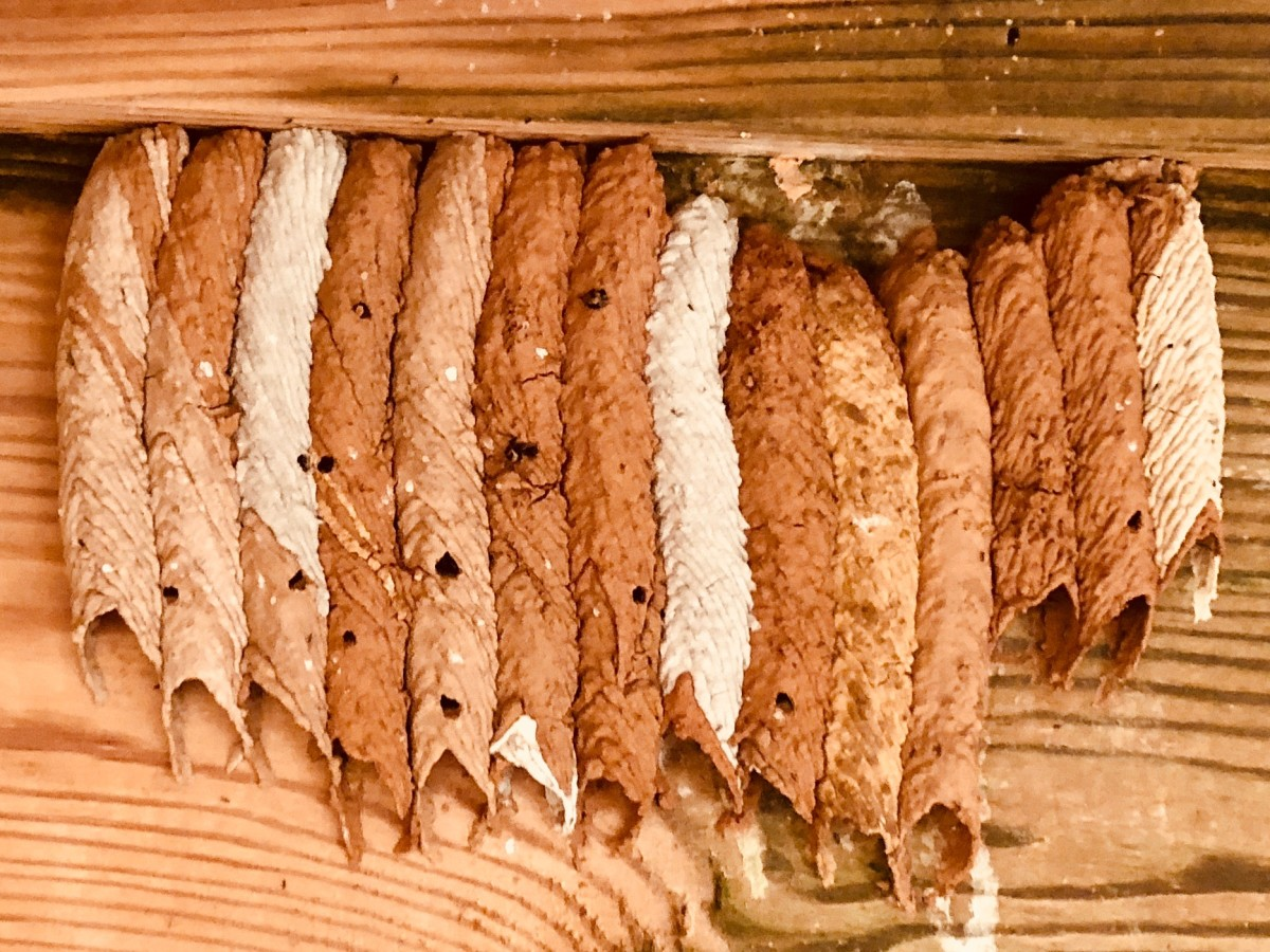 Organ-pipe mud dauber nest