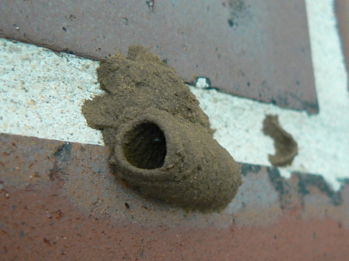 Urn-shaped mud dauber nest