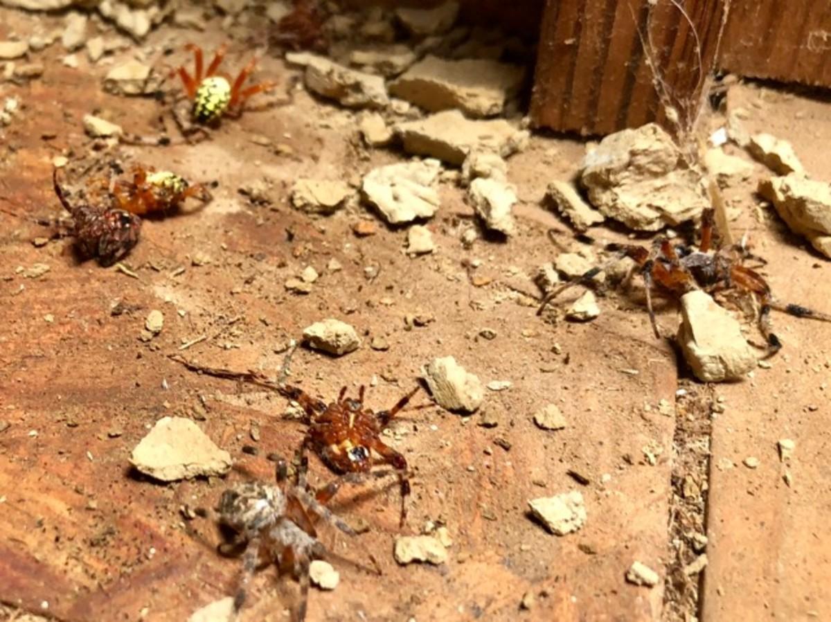 Spiders found in a destroyed mud dauber nest.