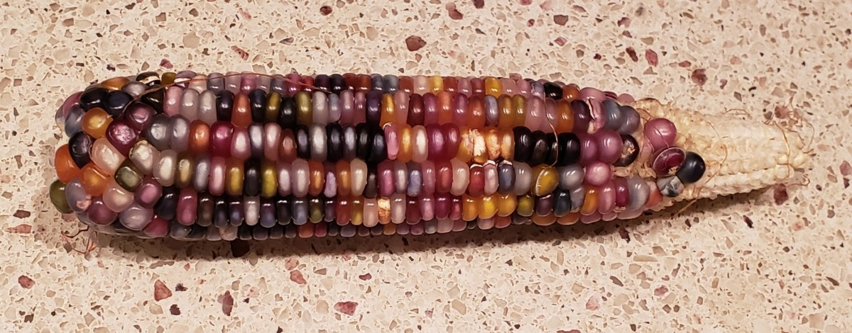An incomplete ear of corn due to incomplete pollination.
