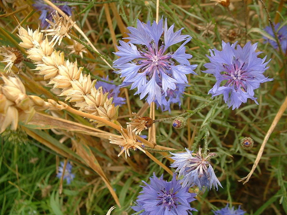 Bachelor's Buttons were originally wildflowers found in grain fields.