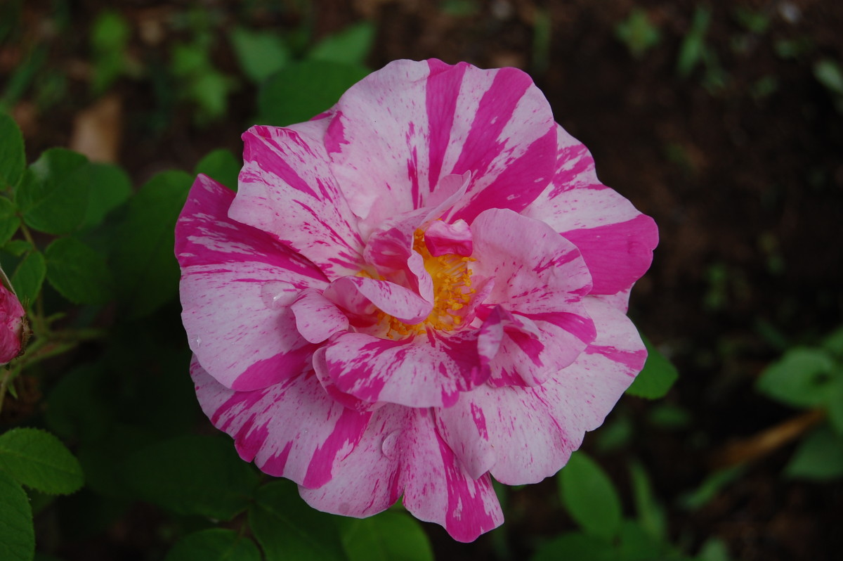 How to Grow Rosa Mundi, an Heirloom Rose