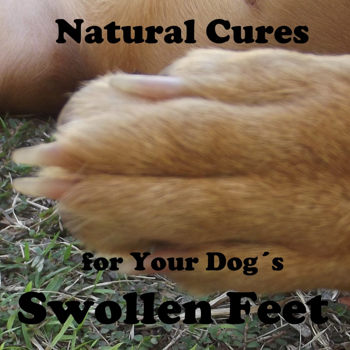 If a dogs toes are swollen the toes will no longer be parallel toone another.