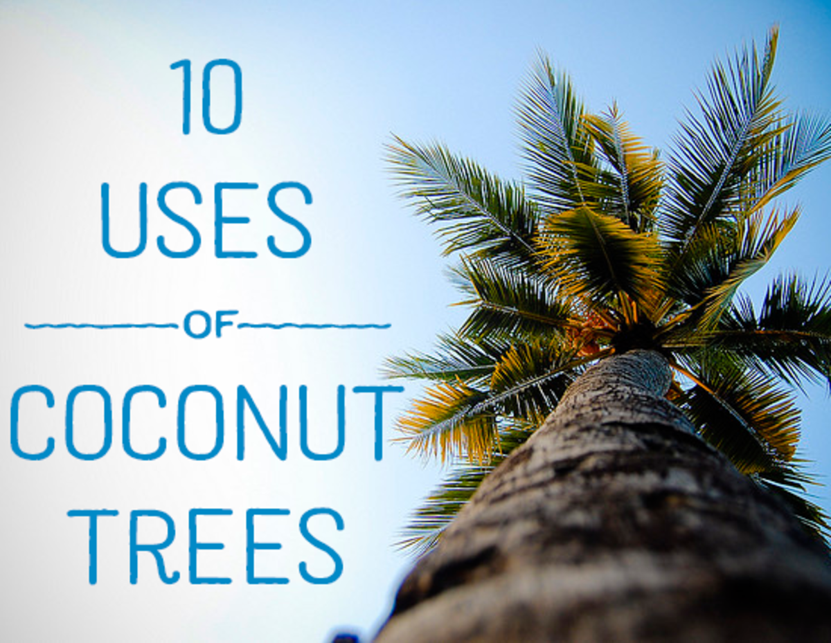 This guide will break down a variety of uses for the wonderful coconut tree.