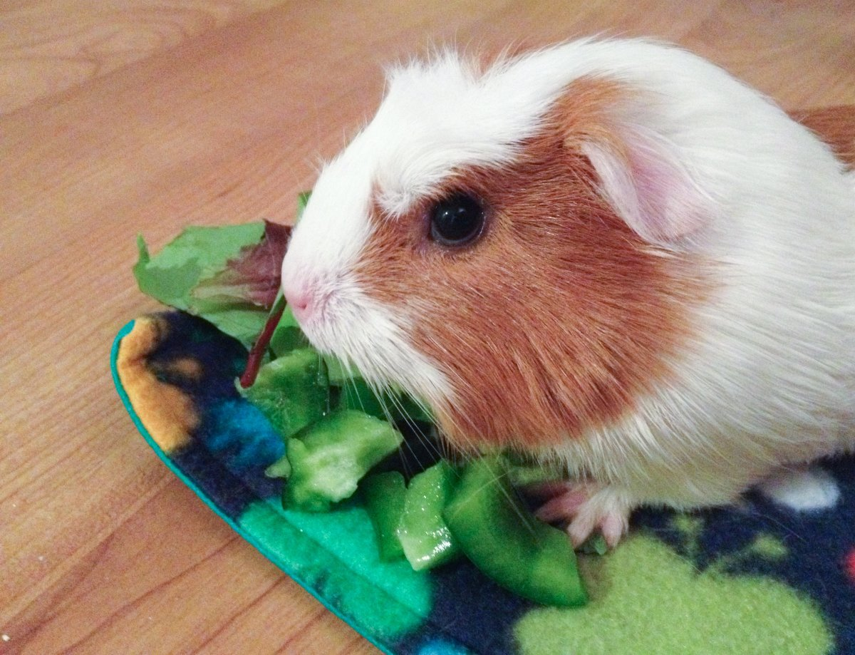 10 Things You Need to Get Before Adopting a Guinea Pig