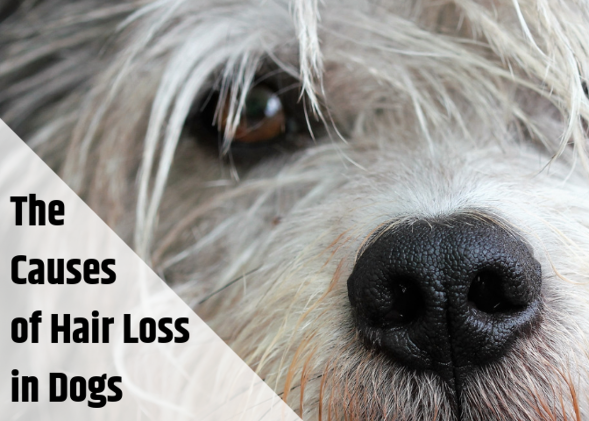 causes for hair loss on dogs