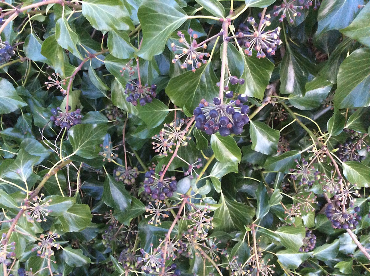 English ivy berries and the leaves of the flowering stems