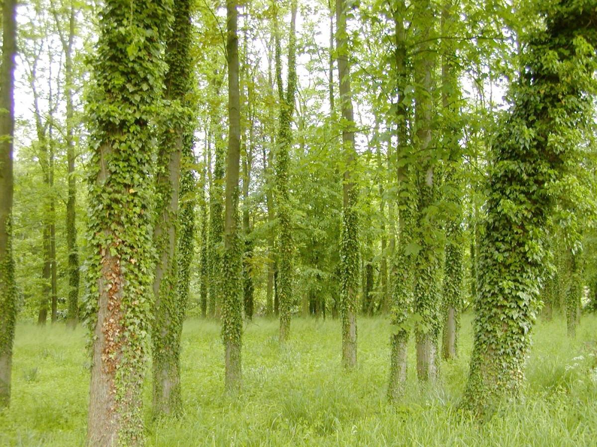 English ivy on tree trunks