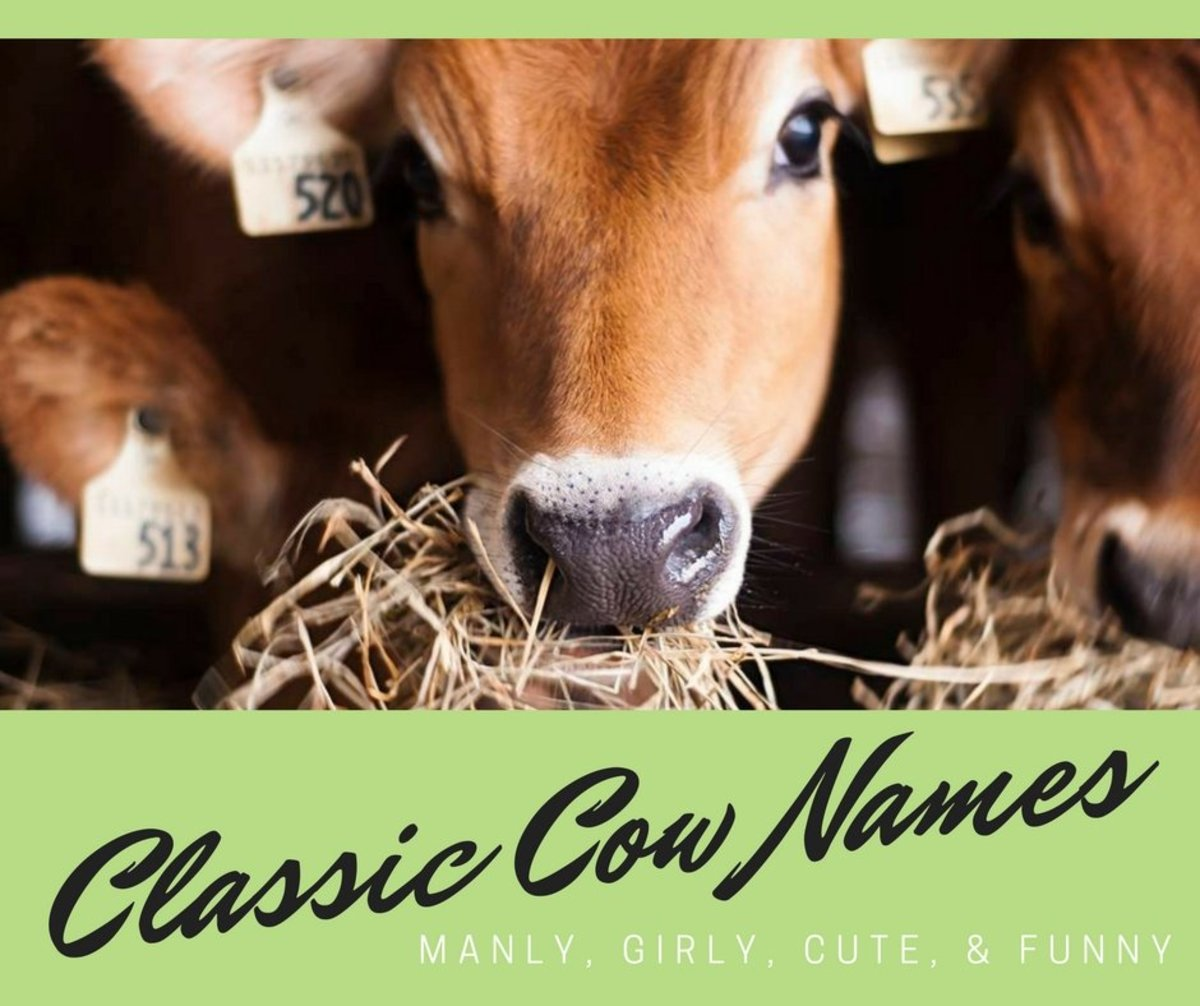 75 Classic Cow Names