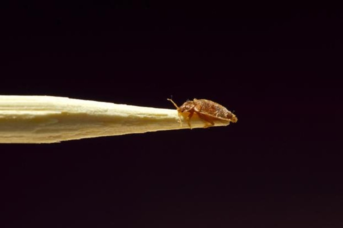 This is what a bed bug looks like.