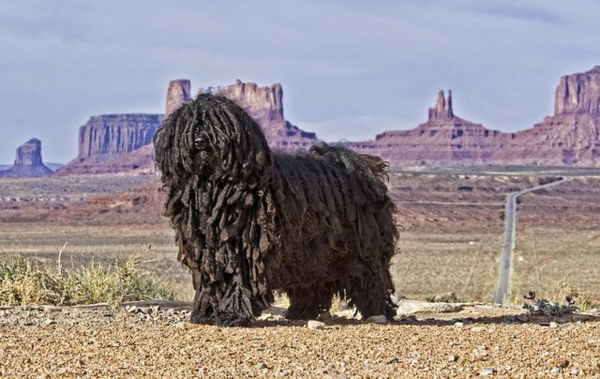 Good Hungarian Dog Names For A Puli Or Komondor