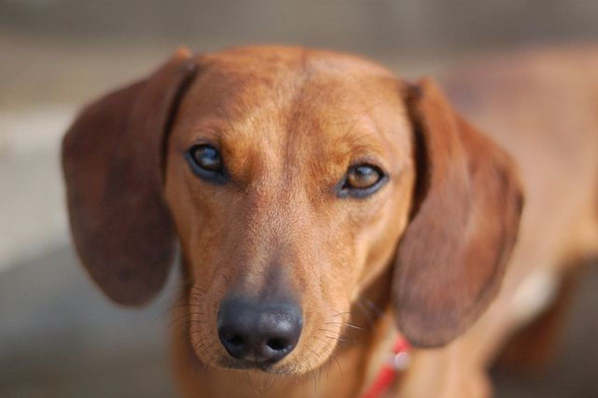 Dachshunds are one of the breeds with a predisposition for Cushing's disease.