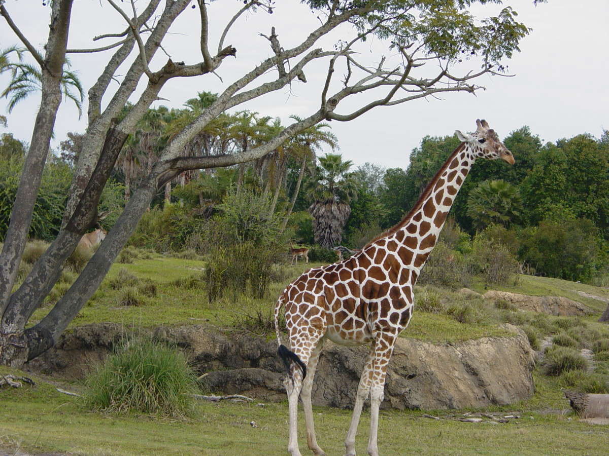 Giraffes on the safari ride