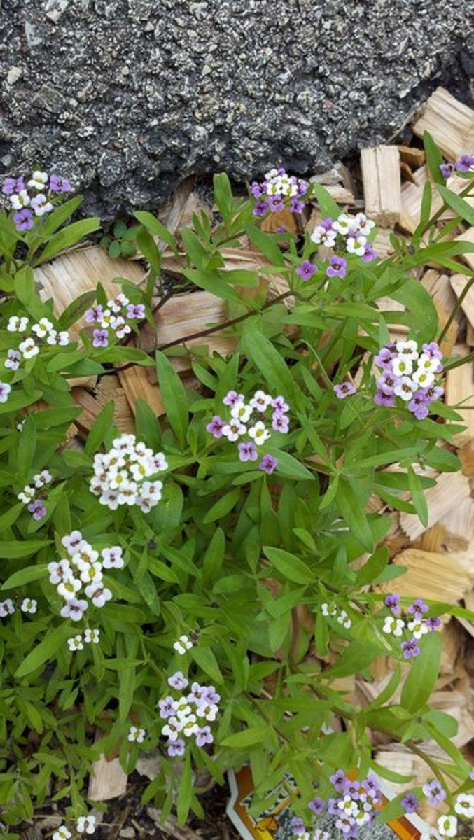 "Alyssum ""Royal Carpet"""