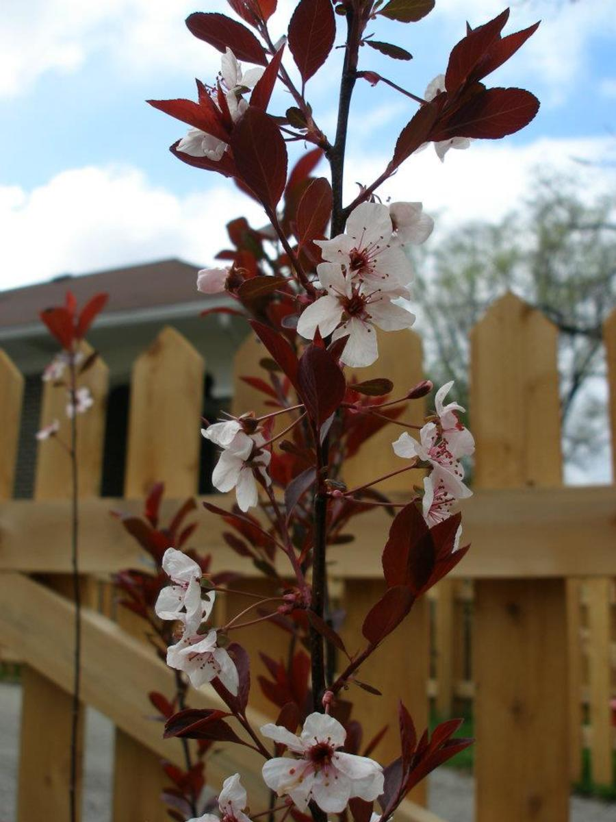 A purple leaf sand cherry in bloom.