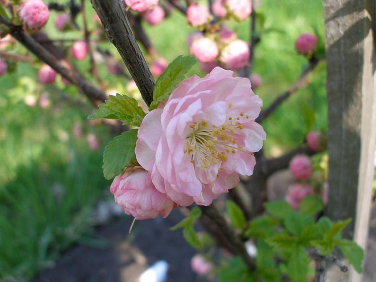 A double flowering plum in bloom.