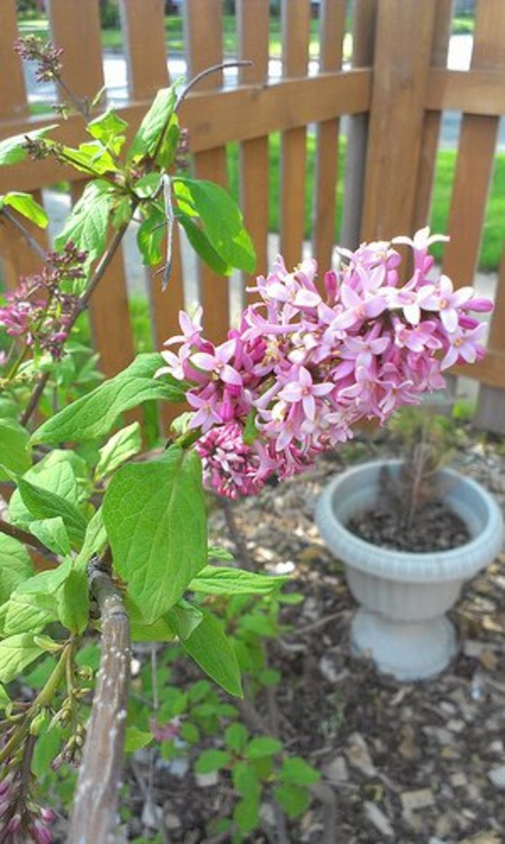 "Lilac ""Ms. Canada"" blossom."