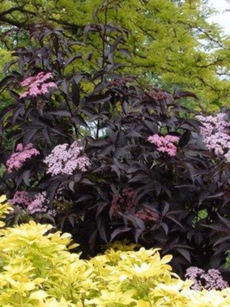 """Elderberry (Sambucus nigra) """"Black Beauty"""" variety."""