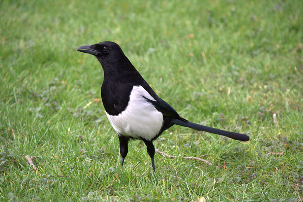 The magpie actually finds most of its food on the ground, and only rarely raids nests.