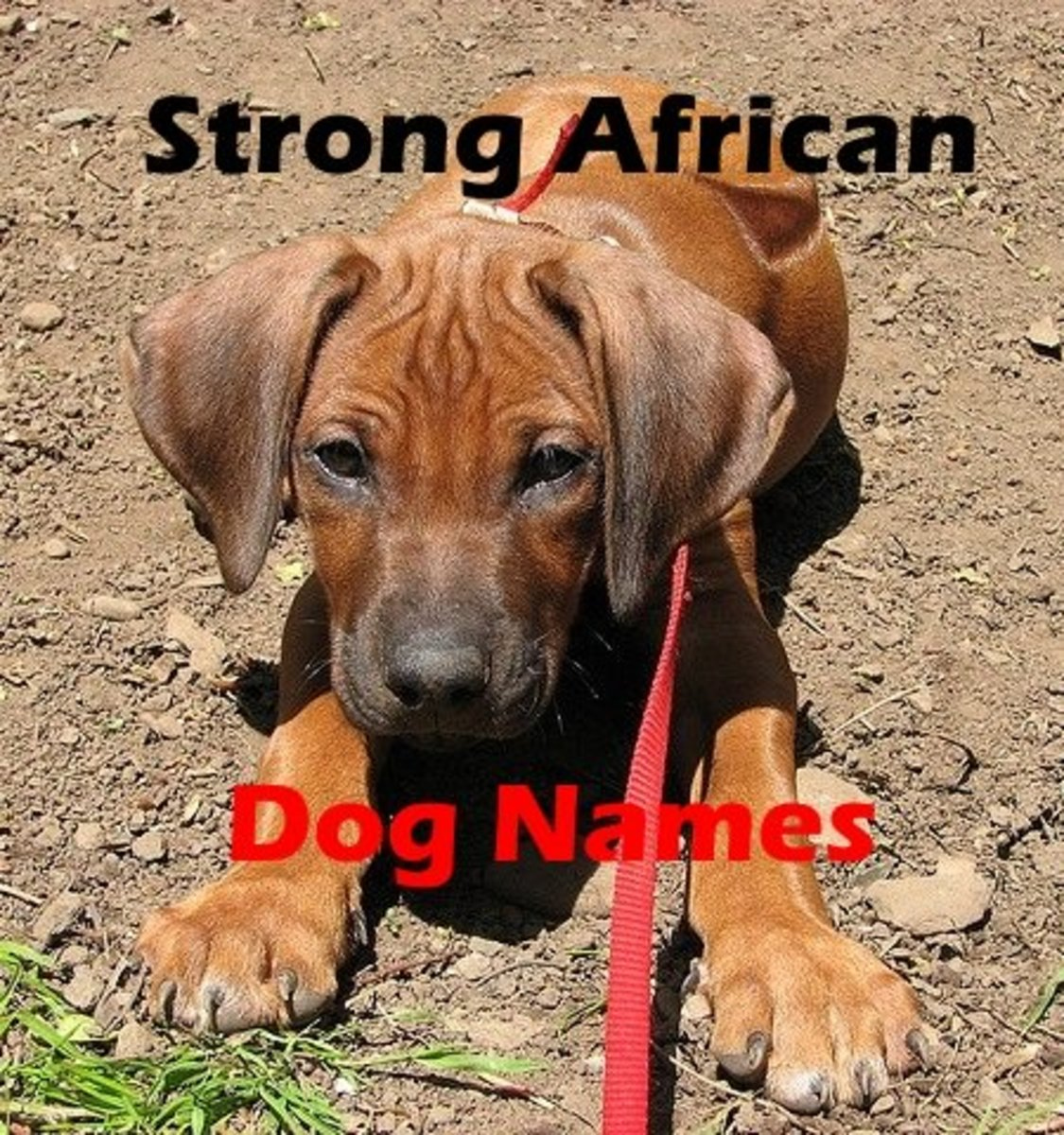 Strong African Dog Names for a Rhodesian Ridgeback (From Ata to Zula)