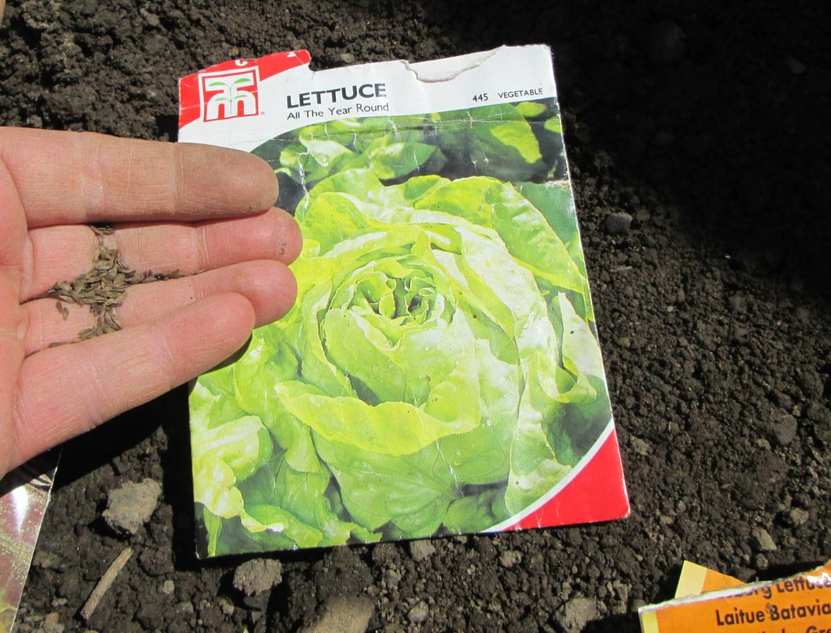 Lettuce Seeds I Grew
