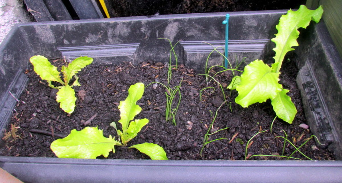 Young Lettuce Plants growing in a container