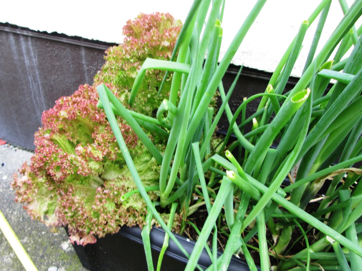 How to Grow Lettuce and Scallions