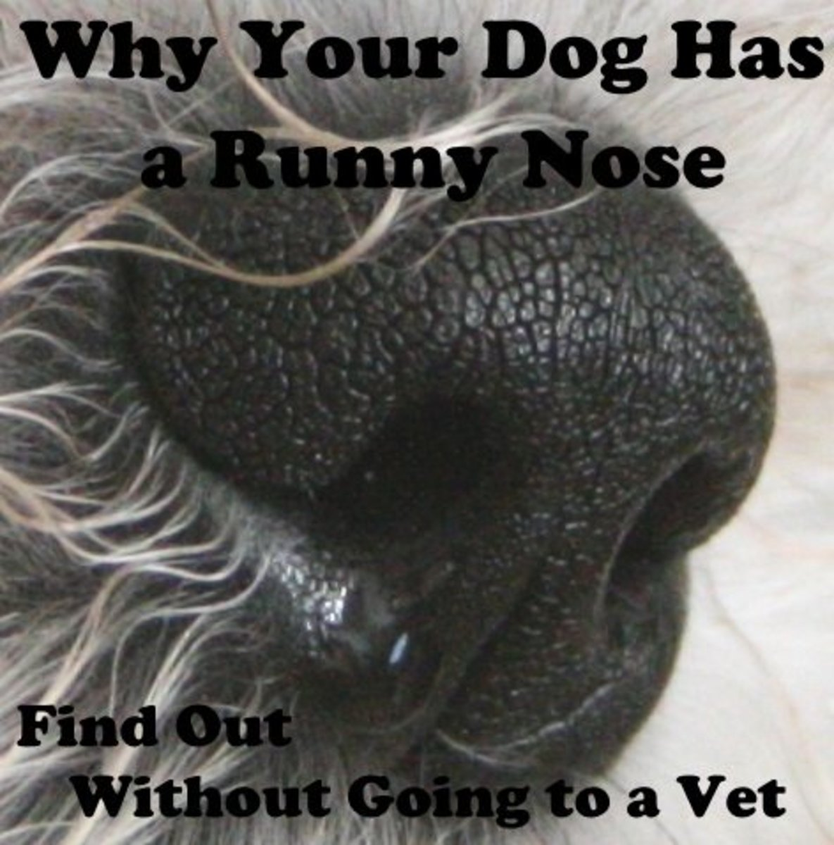 You can find out why your dog has a runny nose without going to the vet.