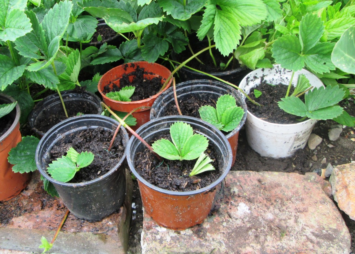 Strawberry runners growing in a pot