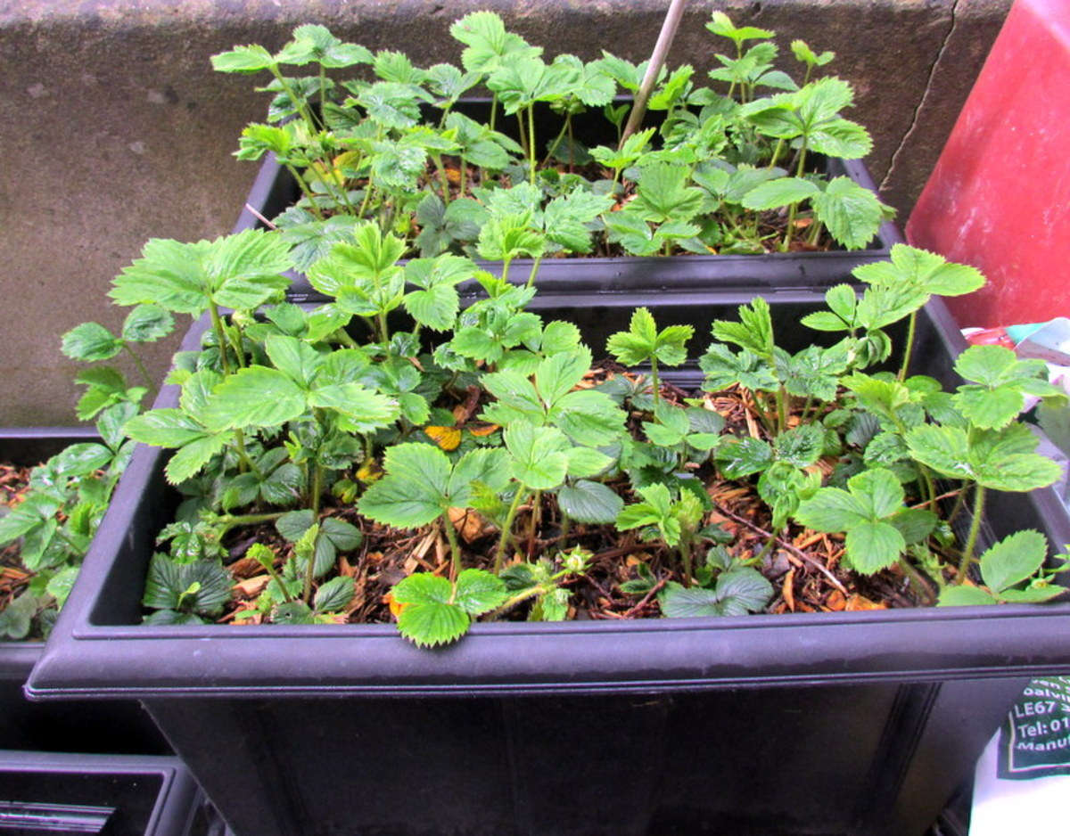 Growing Strawberries in containers