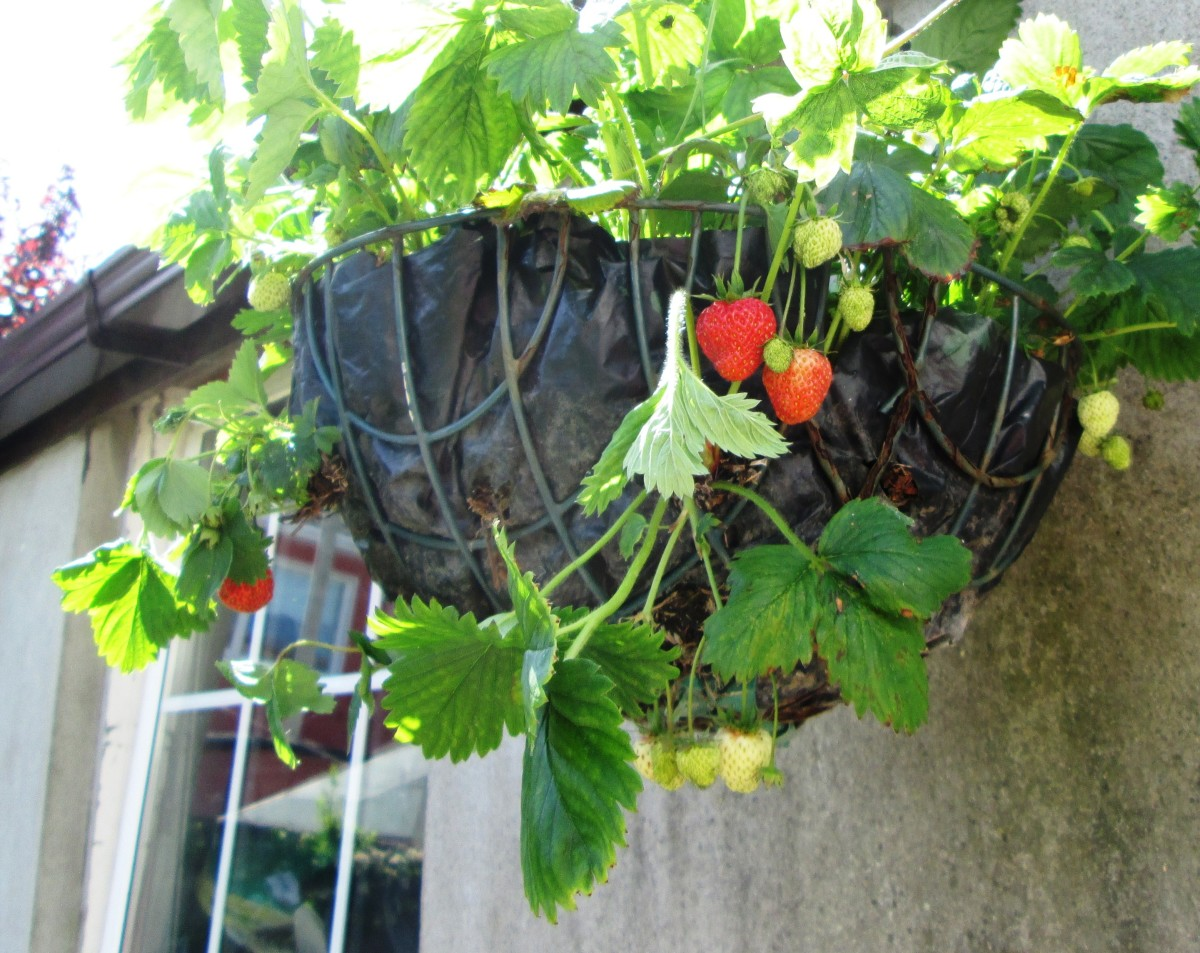 Strawberries growing in my hanging basket