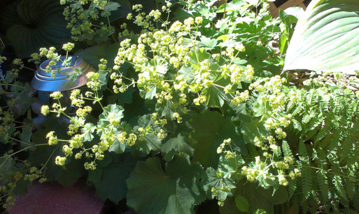 Lady's mantle in bloom.
