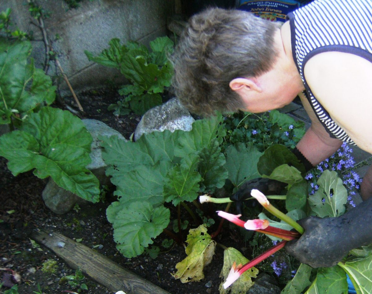 Harvesting Stalks of Rhubarb