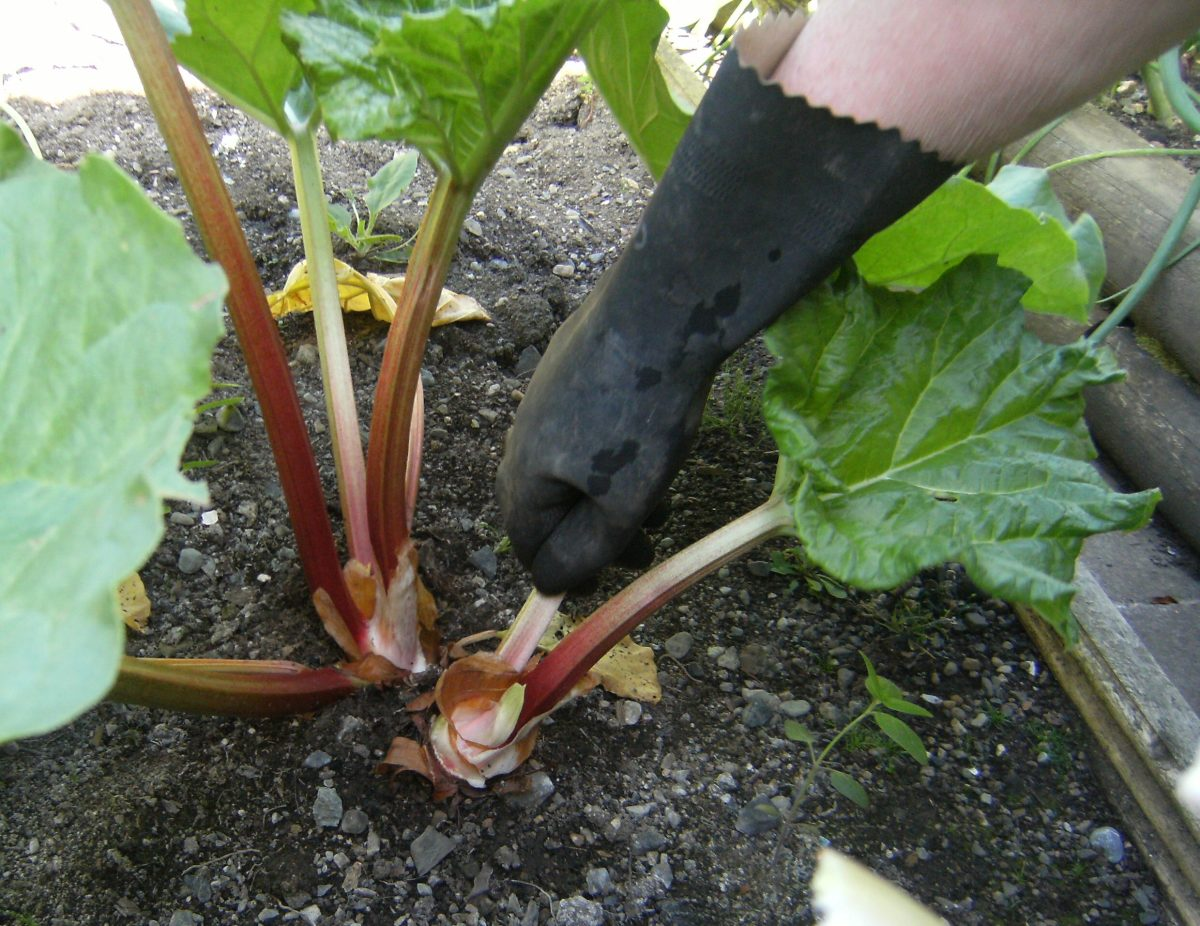 How to grow and harvest Rhubarb plants