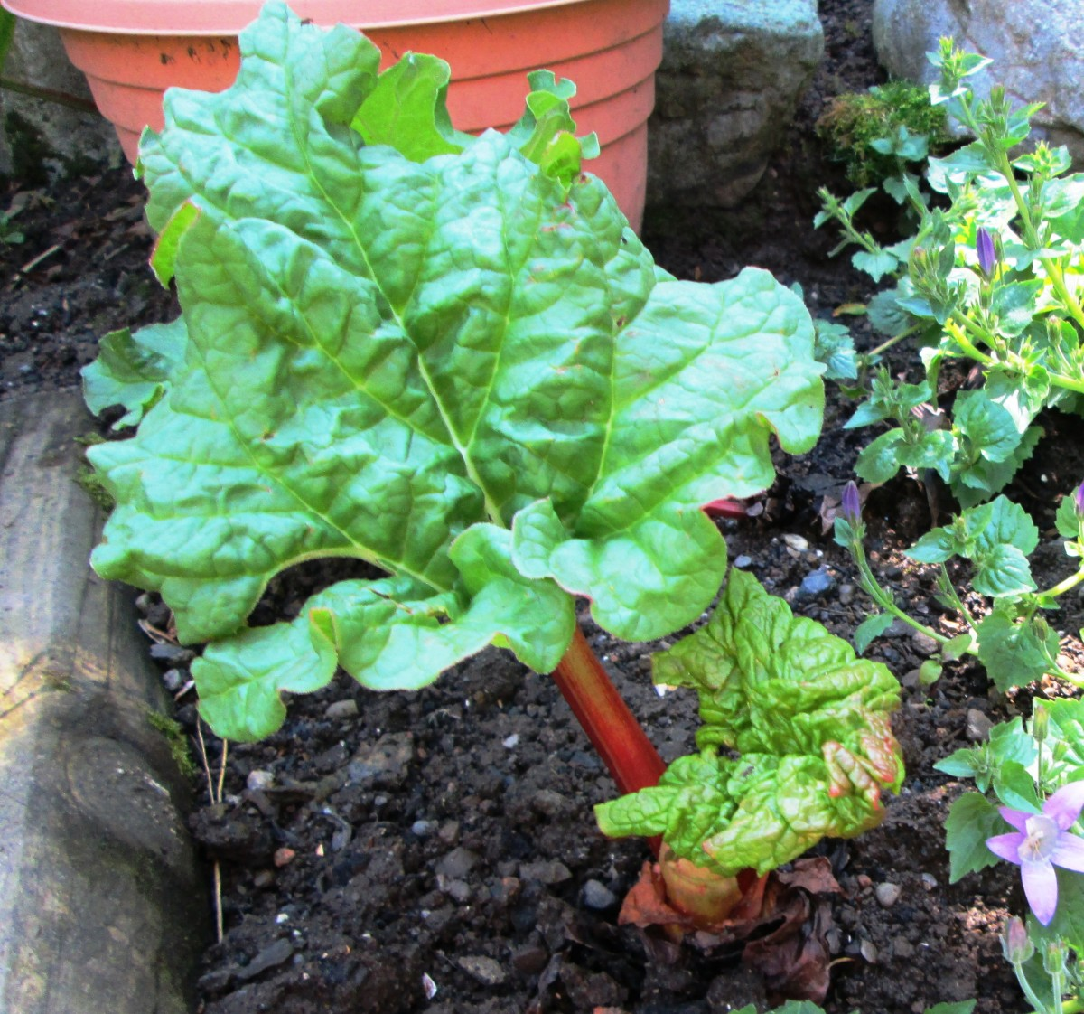 Learn how to grow the best Rhubarb in your garden.
