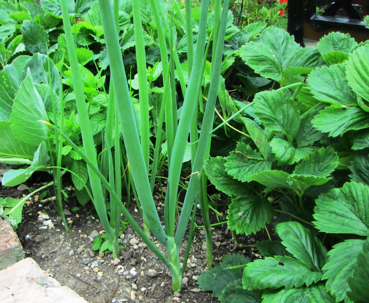 Spring onions.growing in my garden