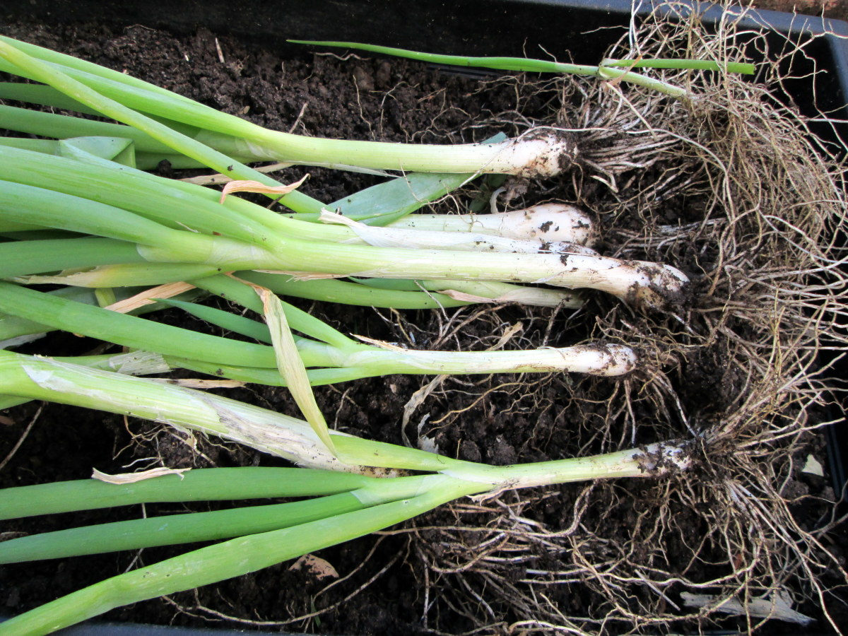 Scallions in My Garden