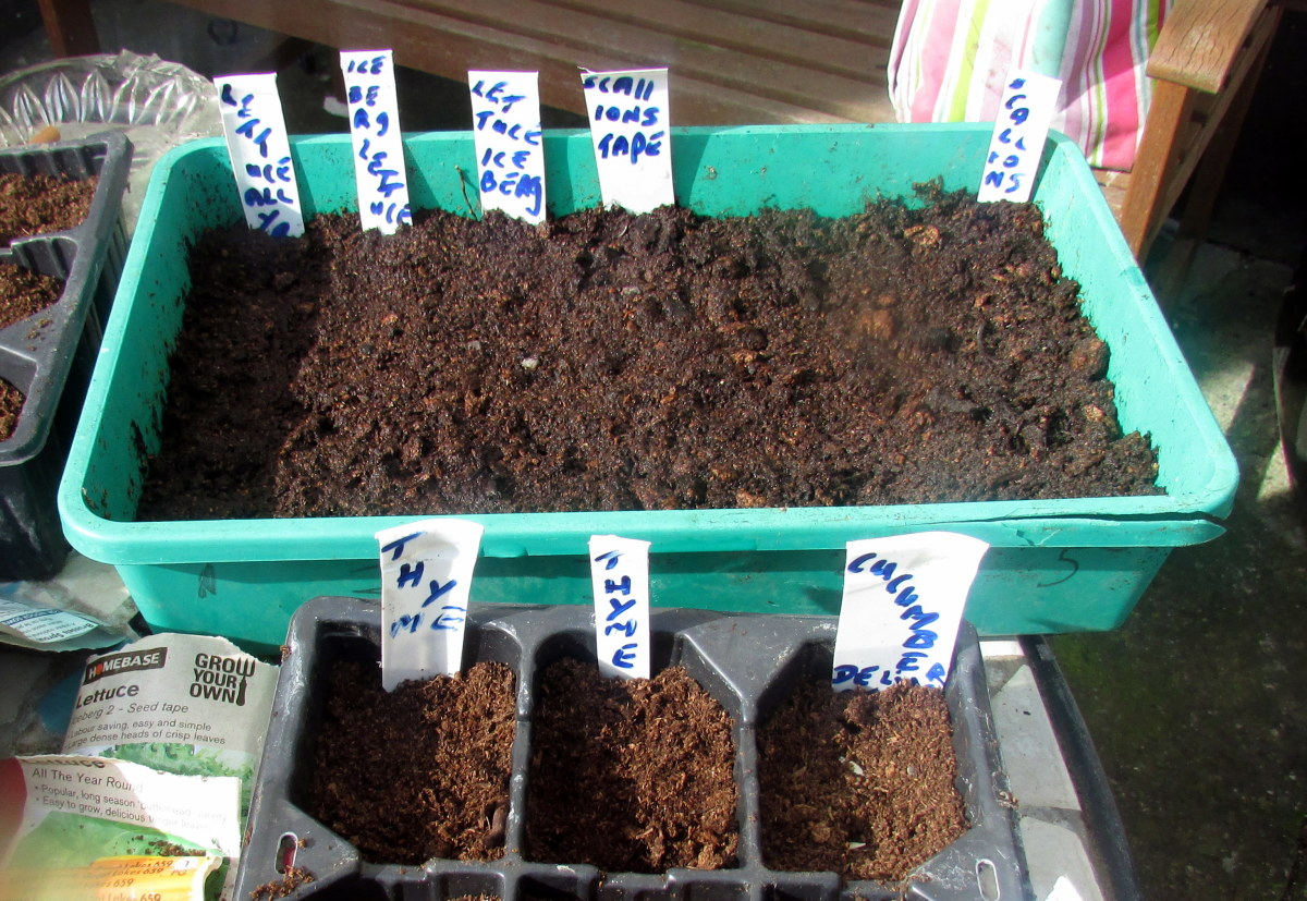 How to grow spring onions in a seed tray.