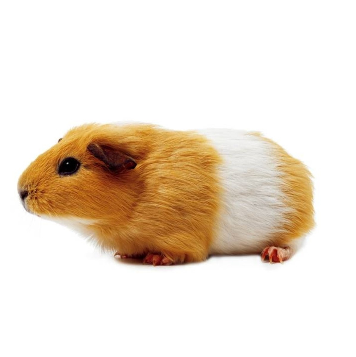 Guinea pigs are one of the most suitable small animals for a classroom pet, as long as they have access to a large pen and are fed, groomed and exercised properly.