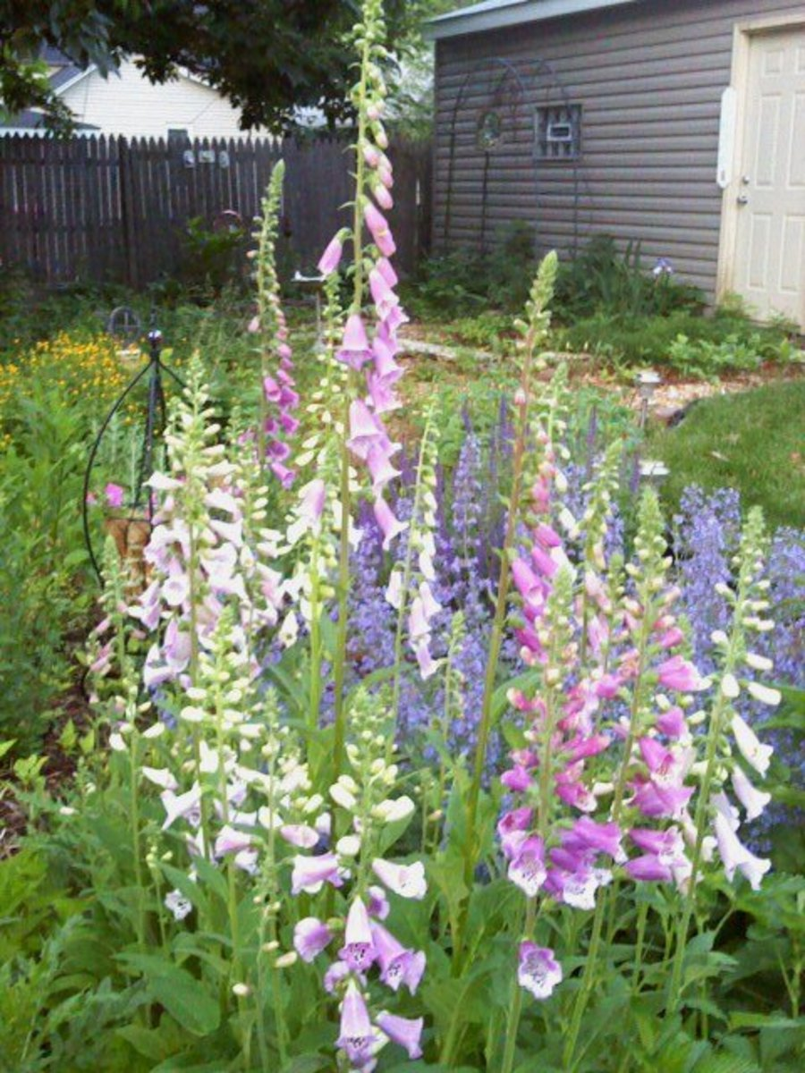 Foxgloves planted along with Catmint