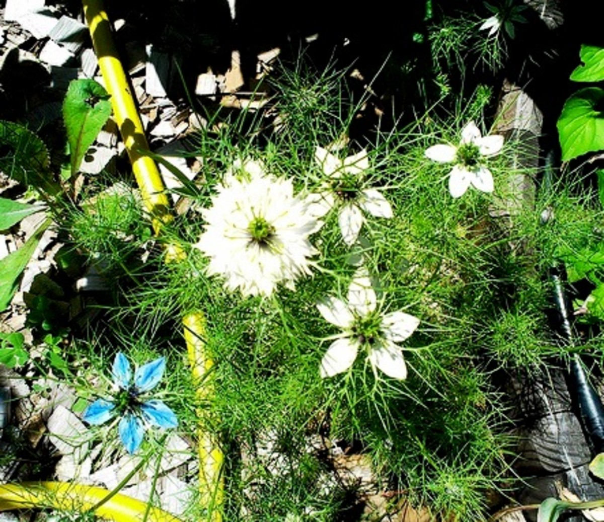 Love-in-a-Mist blooms in a white/blue mix.