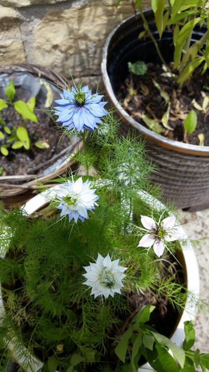Love-in-a-Mist traditional blue and white flowers.