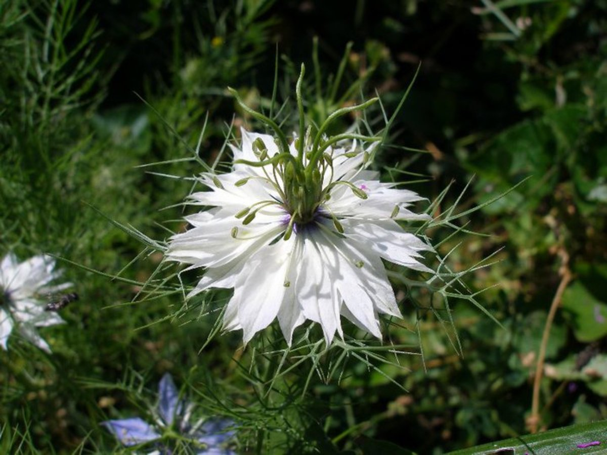 A white Love-in-a-Mist.