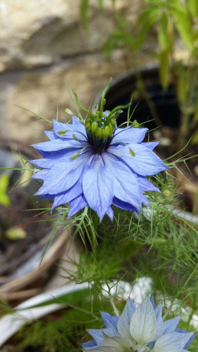 Blue love-in-a-mist flower.