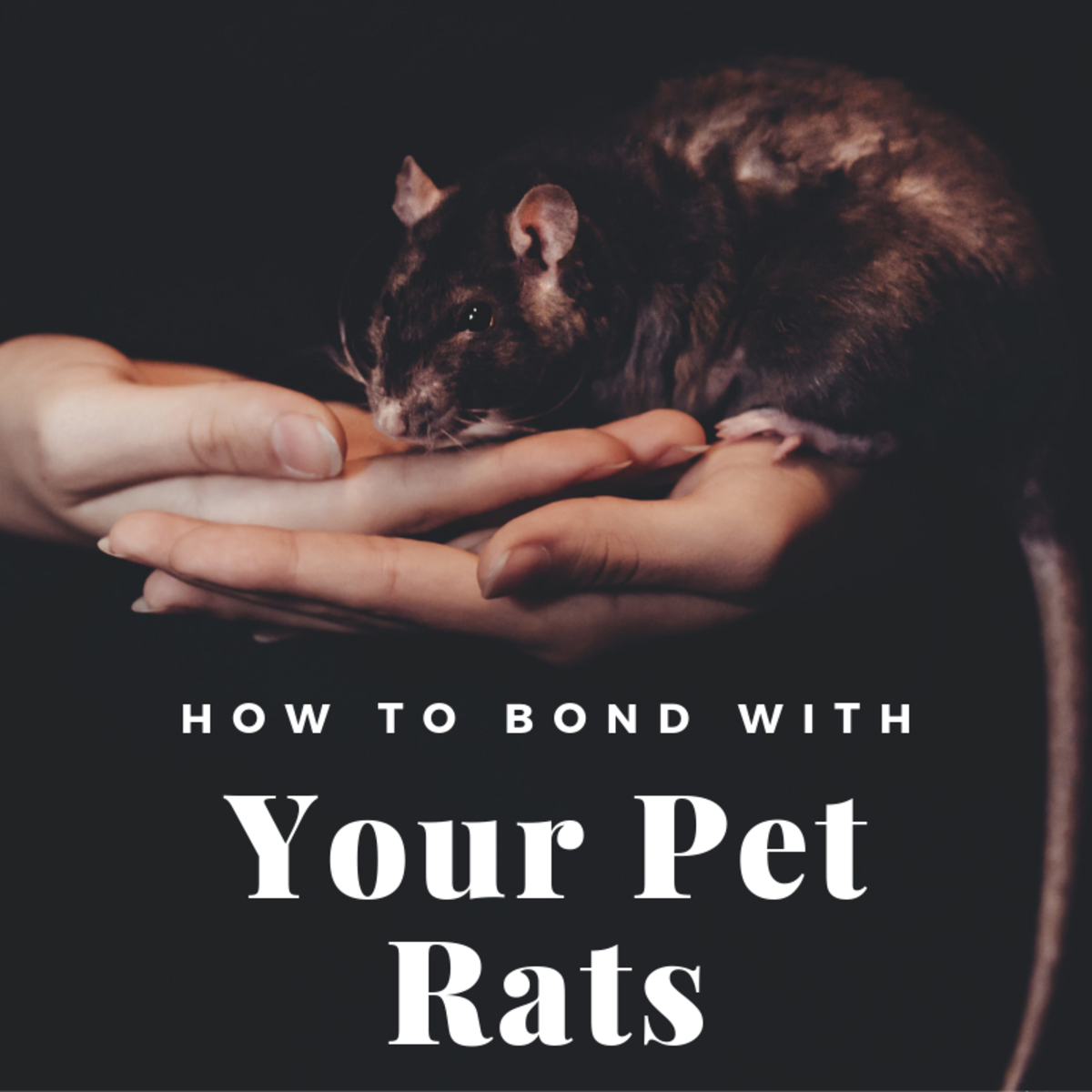 Rats are social creatures, but warming up to their new humans can take some time.