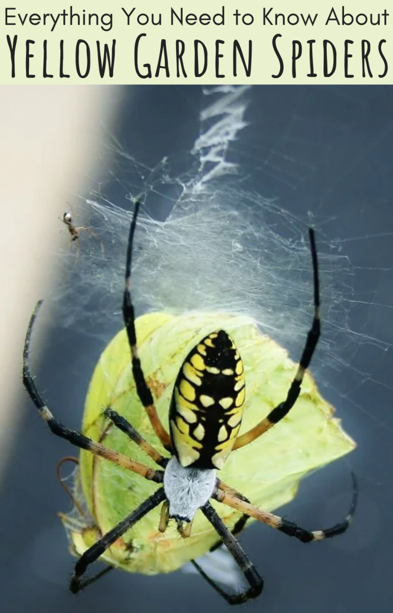 Yellow garden spiders eat relatively large prey, including butterflies and moths, and are known for the distinctive lightning-bolt patterns in their webs (see top middle of photo).