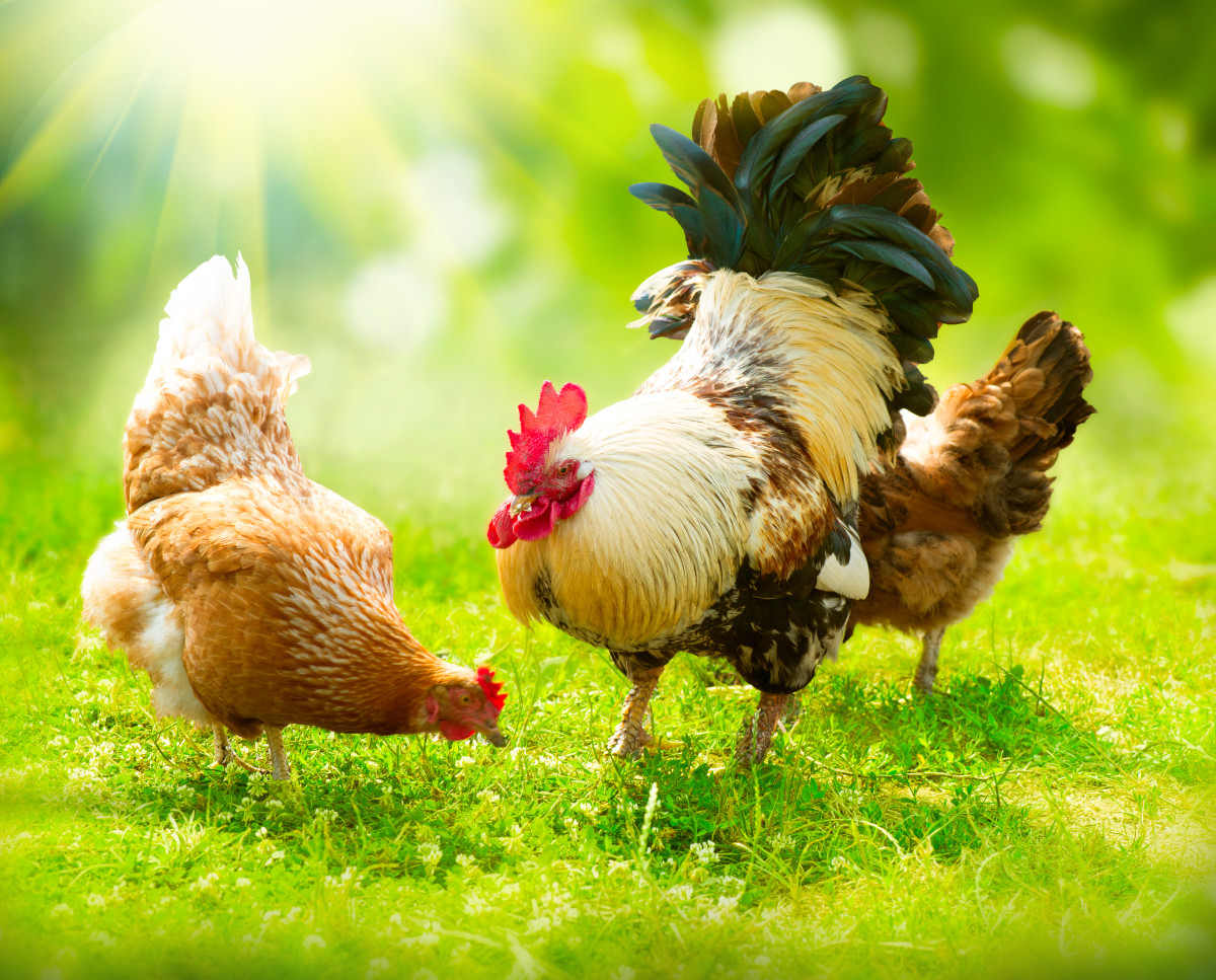 45 Awesome Names for Chickens and Roosters