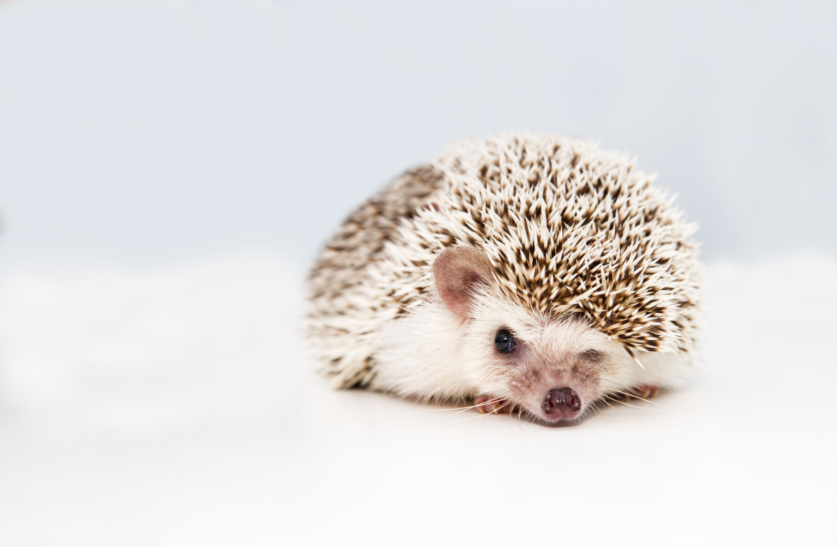 Cute and Funny Hedgehog Names (From Button to Zuri)
